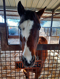 Nutmeg in her stall, staring straight at the camera